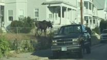 Moose on the Loose Runs Through New Hampshire Town