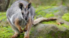 Rhône: un wallaby capturé après 7 semaines de fugue