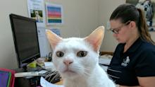 Rescue 'Single White Male' Cat Who Lived at Shelter Over 400 Days Is Hired as Receptionist, Then Finally Adopted