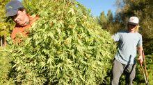 U.S. hemp farmers are leaving Canada in the dust