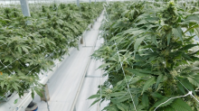 Village Farms Increases Licensed Cannabis Footprint, On Track for More Value-Driving Milestones This Year -- CFN Media