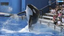 SeaWorld To Build Bigger Enclosures For Killer Whales