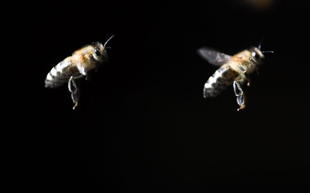 Beleaguered bees hit by 'deformed wing virus'