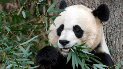 No cause yet in panda cub death