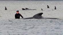 Mueren casi 400 ballenas piloto al quedar varadas en las costas de Australia