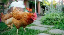 Are pet chickens the next big quarantine trend?