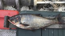 Asian carp found near Lake Michigan got past barriers