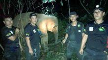 Elephant-human conflict: Sabah Wildlife Dept captures aggressive female elephant in Telupid
