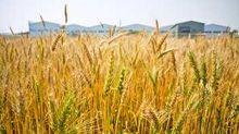 《農產品》軟紅冬麥升至近6年高點!玉米/黃豆需求俏