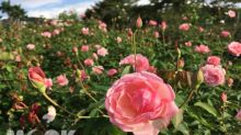 大片玫瑰花海綻放!秋季玫瑰花展打卡熱點