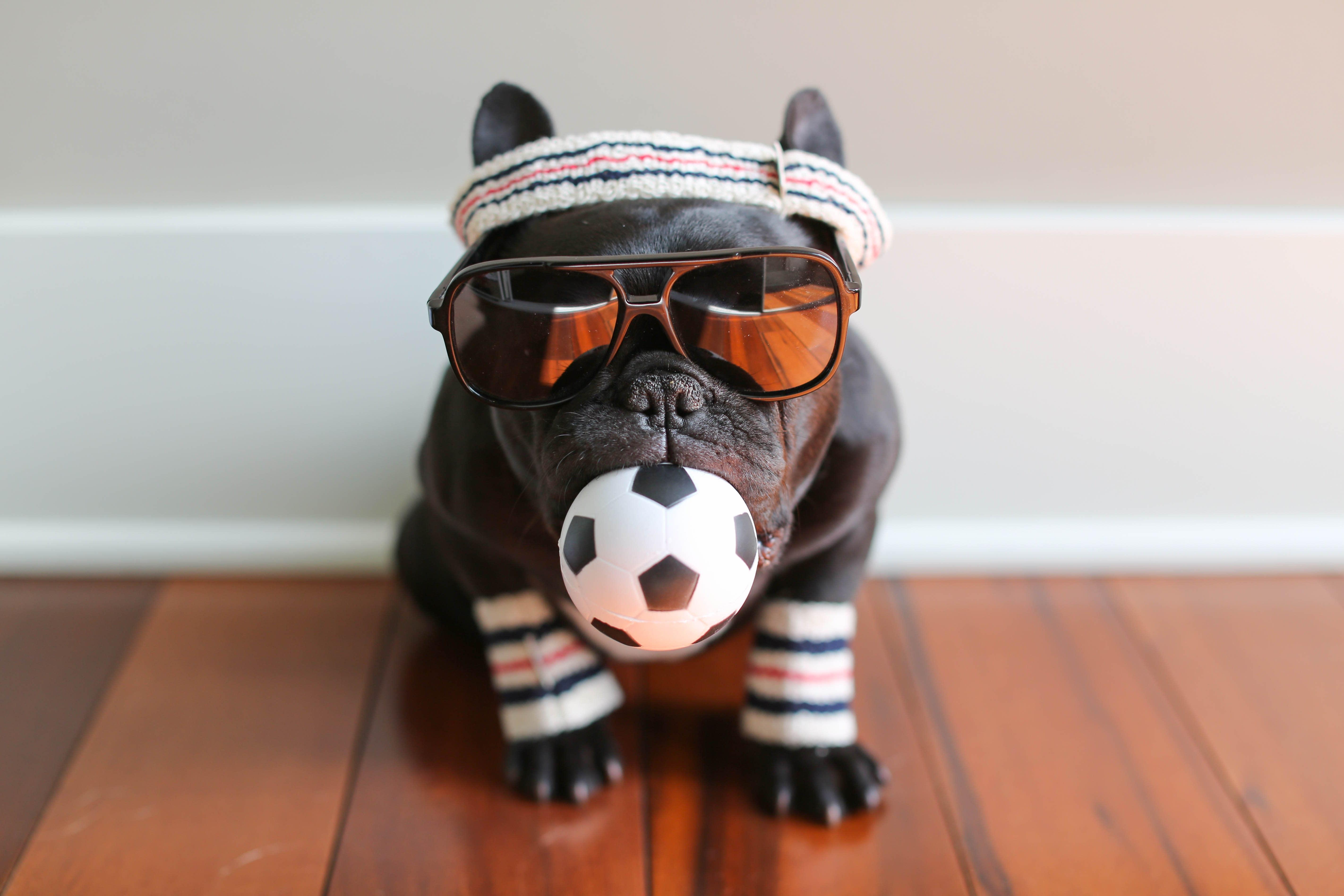 Good Morning America French Bulldog : Trotter the french bulldog does gma
