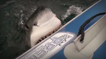 Shark Attack: Great White Attacks Inflatable Boat