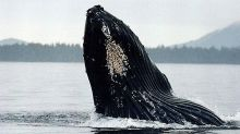 Temporada de ballenas jorobadas: conócelas