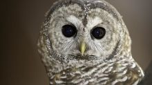 Feds urged to step in to stop B.C. logging in refuge of last breeding  pair of spotted owls