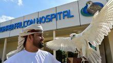 Un hospital de halcones en Emiratos Árabes para preservar la tradición
