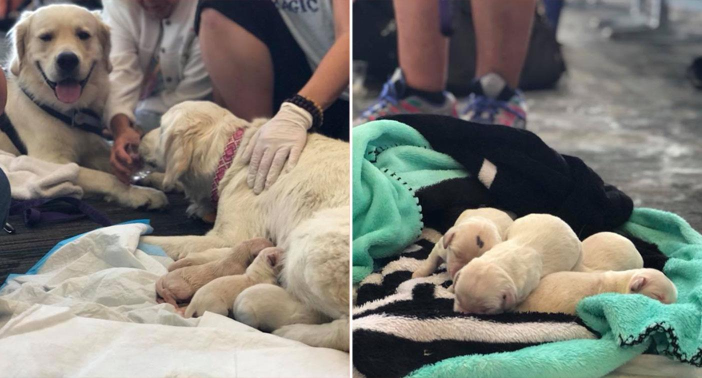 Golden retriever service dog gives birth to eight puppies in airport
