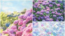 日本超靚紫色花海 繡球花全開靚景Twitter熱傳
