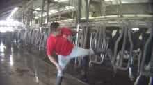 Florida Dairy Workers Seen Beating, Kicking Cows In Undercover Video