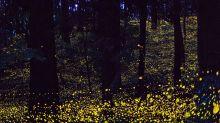 金色螢火蟲宛如銀河!日本夏季夢幻必訪景點