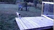 Goat Shows Pug Who's Boss