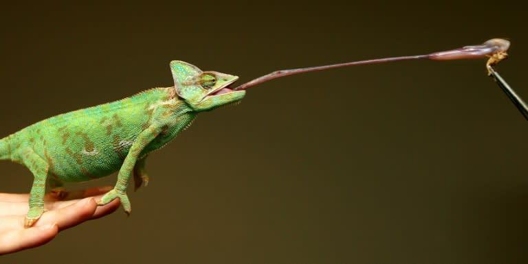 La maravillosa y espesa saliva del camaleón | Noticias Pecuarias v.2 ...
