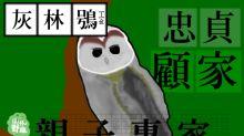 忠貞又顧家的貓頭鷹—灰林鴞