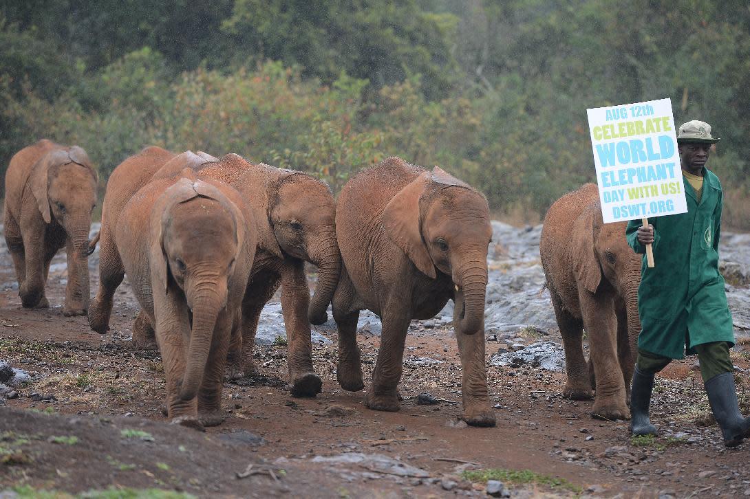 Orphaned baby elephants at the David Sheldrick Elephant Orphanage, at the Nairobi National Park on World Elephant Day on August 12, 2014 (AFP Photo/SIMON MAINA)