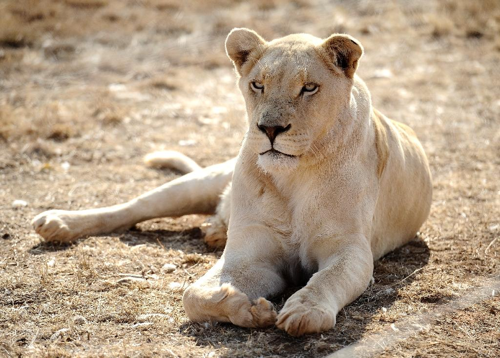 A woman was attacked by a lioness near Hammanskraal, roughly 45 kilometres (30 miles) north of Pretoria