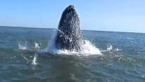 Feeding Humpback Whales off the Coast of Rockaway Beach