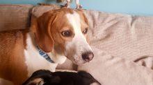 Rührende Tierfreundschaft: Eine Eule und zwei Hunde kennen sich schon ihr ganzes Leben