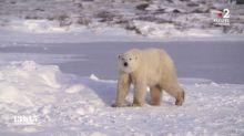 """Canada : """"La population d'ours polaires a diminué de 24% en trente ans dans la baie d'Hudson"""""""