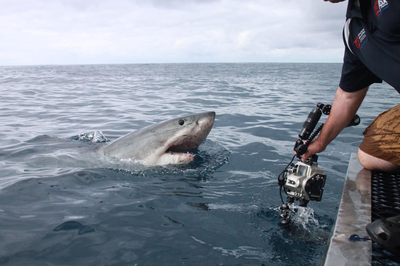 платно картинки акулы людоед подарочные
