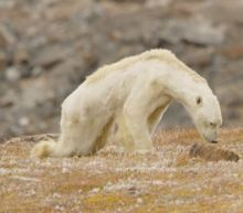 Dying polar bear roams iceless land for food in 'soul-crushing' video
