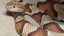 Venomous Snake Bites on the Rise in Kids