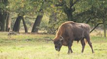 Bison to be reintroduced to Britain's woodland for the first time in thousands of years