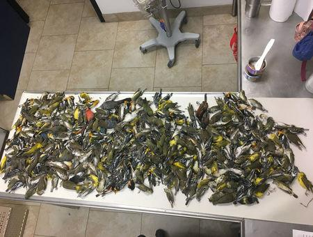 Some of the nearly 400 dead birds which crashed into the American National Building in Galveston