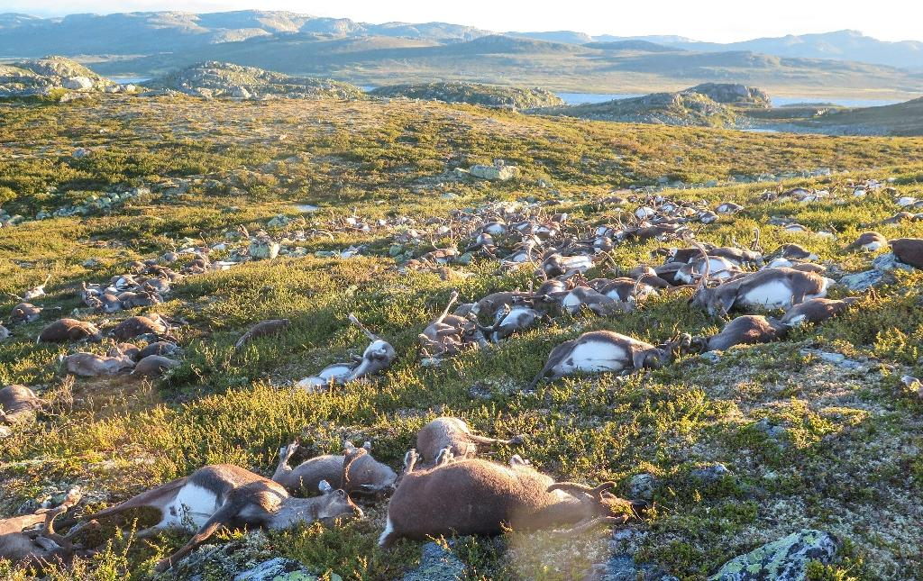 Some 323 wild reindeer lie dead after being struck by lightning on a hill side on Hardangervidda mountain plateau in southern Norway on August 27, 2016