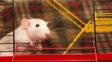 Enseñan a jugar al escondite a unas ratas, y éstos saltan de alegría