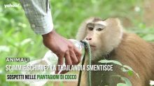 Scimmie schiave? La Thailandia smentisce