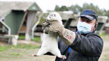 Dinamarca sacrifica 2,5 millones de visones por coronavirus