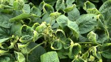 Bayer, Corteva in 'two-dog battle' over U.S. soy market