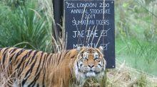 Tragödie im Londoner Zoo: Tiger tötet Artgenossin