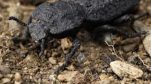 Diabolical ironclad beetles can get squished under 39,000 times their weight and survive. Scientists figured out how.