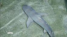 Acquisition d'un requin-citron, Capital dimanche à 21:00 sur M6
