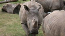 Rhino killed for its horn inside French zoo; rare old African elephant killed too