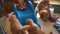 Baby golden retrievers try to climb a slide