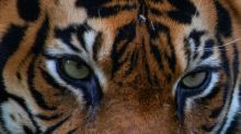 Sumatran tiger kills farmer in Indonesia