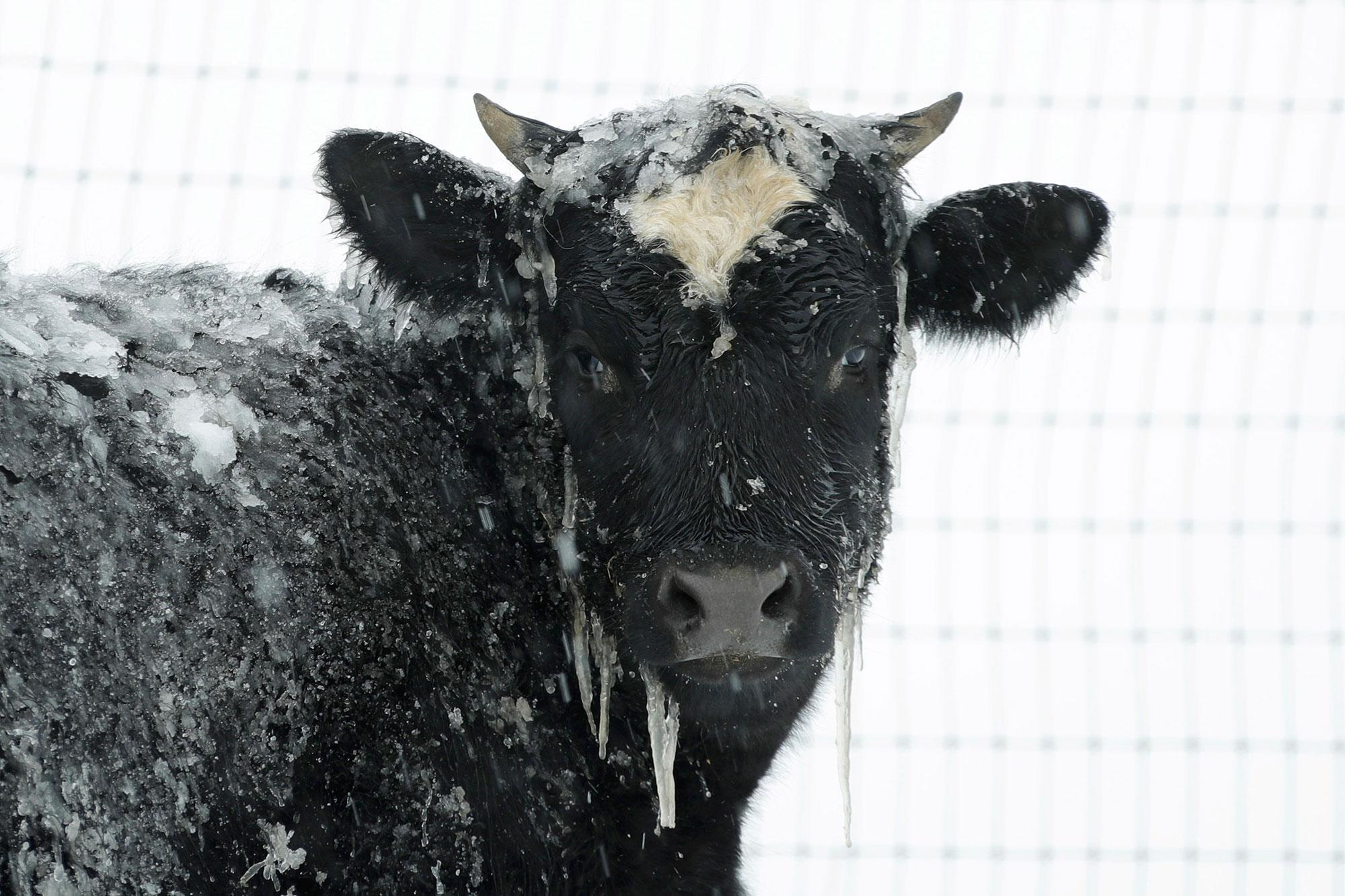 <p>A cow stands in pasture during a winter snow storm, Tuesday, March 14, 2017, in Salisbury, Pa. (AP Photo/Matt Slocum) </p>