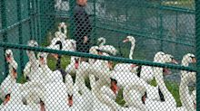 Florida city sells excess swans after Queen Elizabeth's gift leads to overpopulation