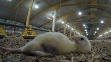 More than 500 chicks 'too small to be profitable' die in 24 hours on farm supplying Tesco